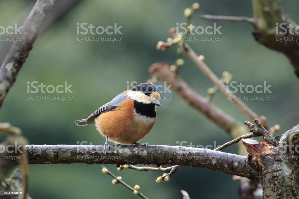 Varied tit, Number 1 stock photo