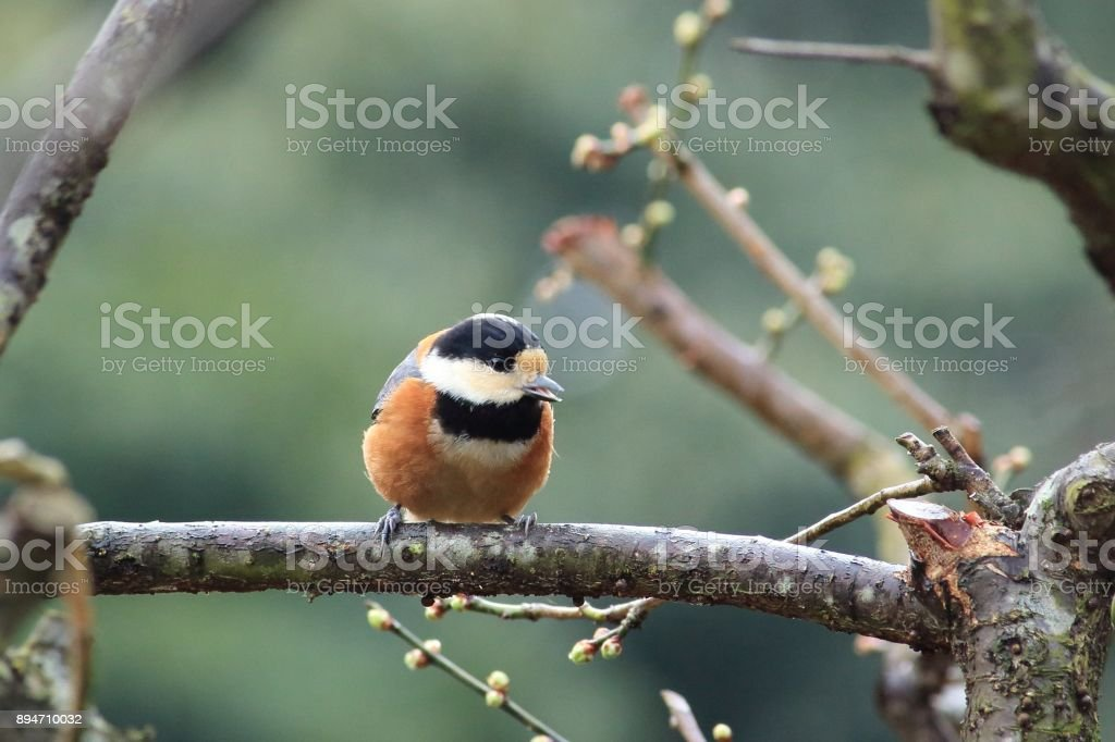 Varied tit, Number 2 stock photo
