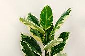 Variegated ficus elastica varieties variegata, or robusta tineke.