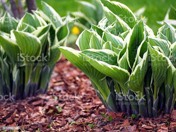 Variegated hosta plant picture id505866248?b=1&k=6&m=505866248&s=612x612&h=poq4tcygb53aeexe866hiwgszn4wgtvsnbxncizno4m=