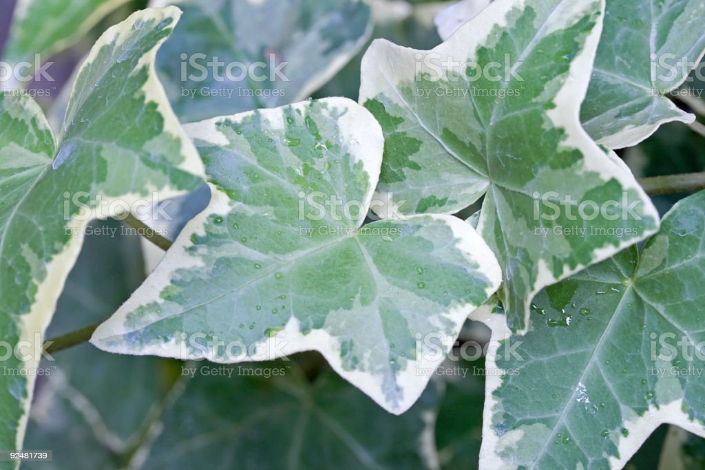 Variegated Ivy royalty-free stock photo
