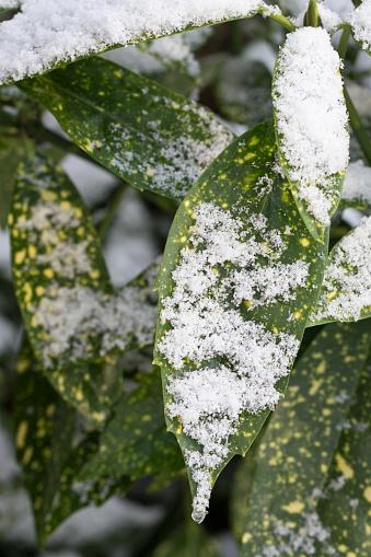 Variegated Japanese Laurel Aucuba japonica variegata covered in snow in winter, United Kingdom