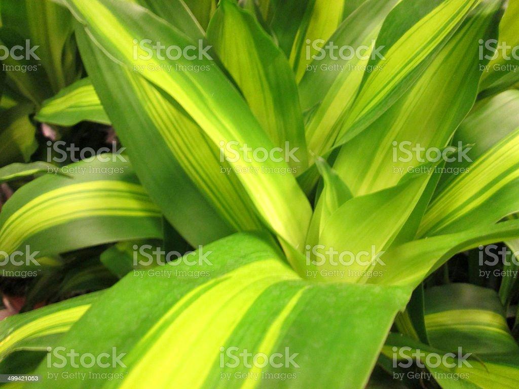 Variegated leaves of Dracaena fragrans 'Massangeana' houseplant / corn plant image stock photo