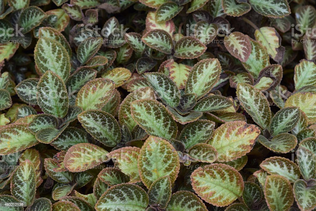 Variegated leaves stock photo