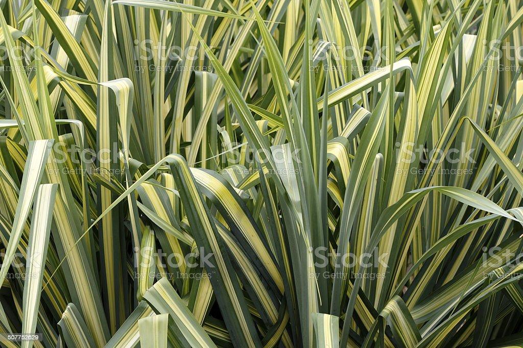 Variegated Sedge Grass stock photo