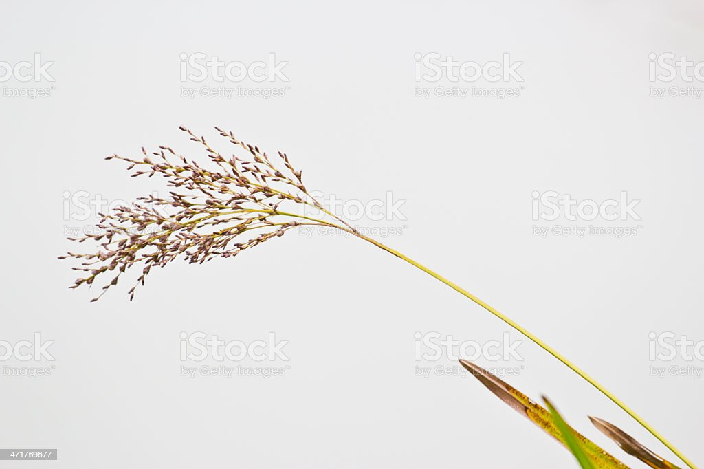 Variegated structures of flowering grass. royalty-free stock photo