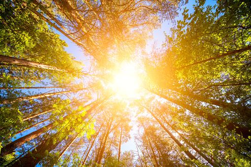 Diverse Kronen Van De Bomen In Het Voorjaar Bos Tegen De Blauwe Hemel Met De Zon Onderaanzicht Van De Bomen Stockfoto en meer beelden van Achtergrond - Thema