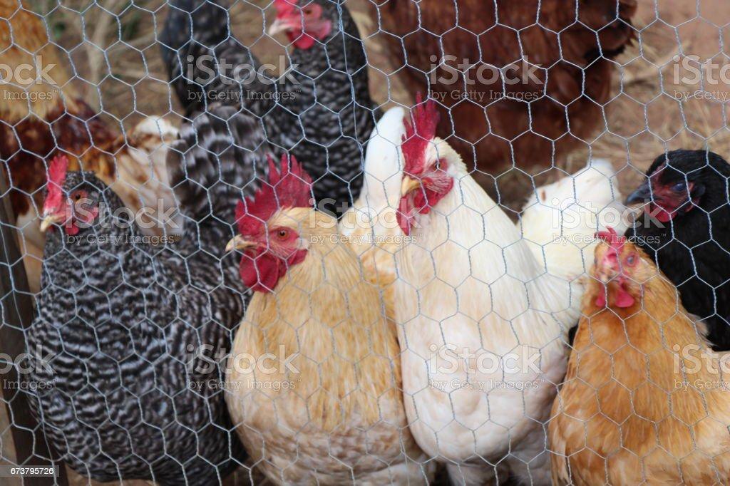 Variété de poulets photo libre de droits
