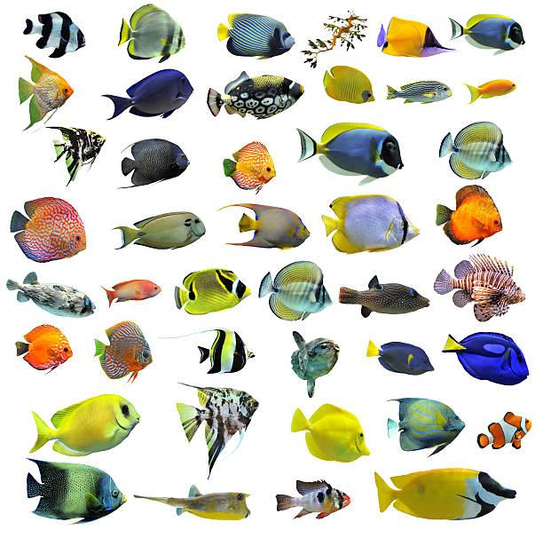 wiele kolorowych ryb na białym tle - tropikalna ryba zdjęcia i obrazy z banku zdjęć