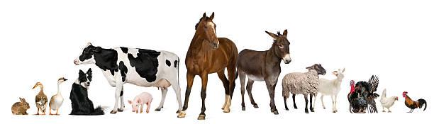 Variété d'animaux de la ferme, fond blanc. - Photo