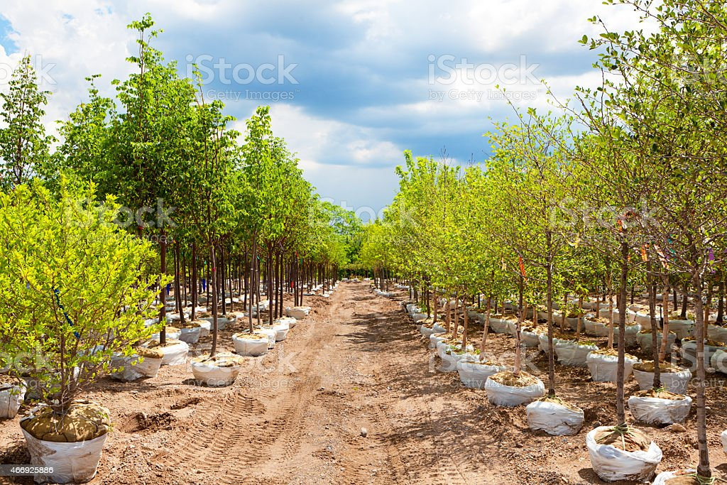 Variety of Landscaping Sapling Trees Display in Nursery Garden Center stock photo