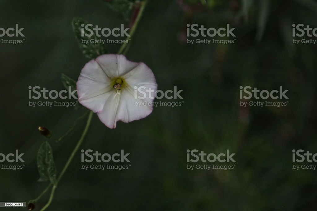 A variety  of nightshade flowers on a vine. stock photo