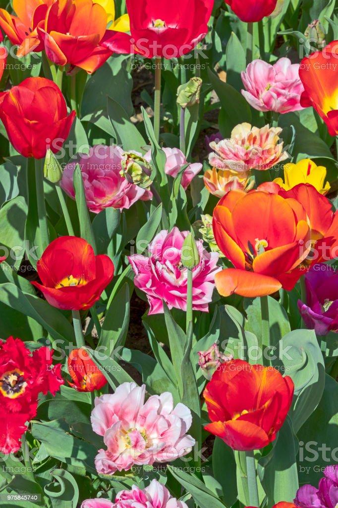 rote und Rosa Tulpe Artenvielfalt - Lizenzfrei Baumblüte Stock-Foto