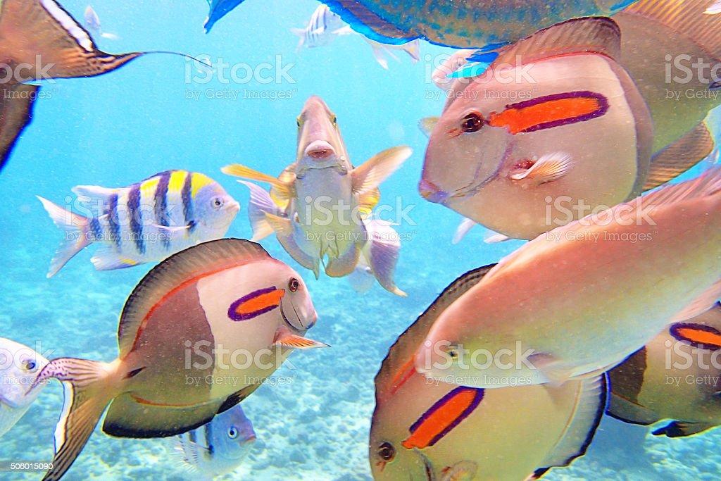 Variety of Reef Fishes in Beaches of Kauai Hawaii stock photo