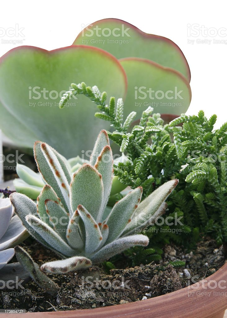 Variety of succulents in bowl. Vertical. royalty-free stock photo