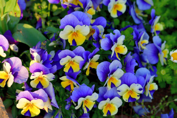 Variety of Viola Flowers stock photo