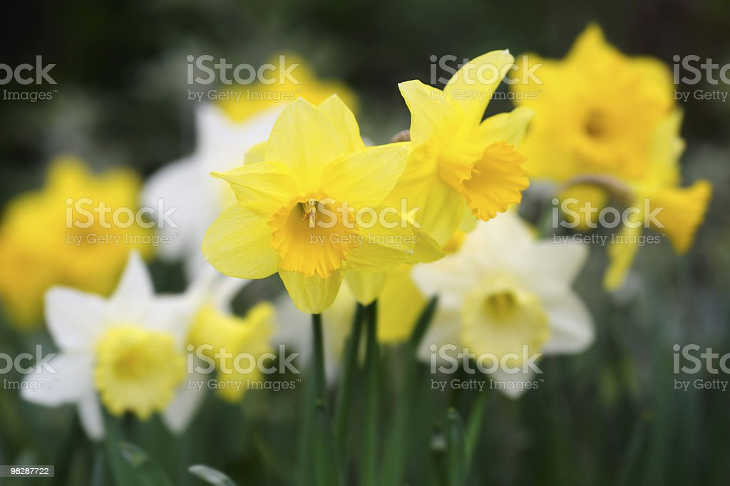 Variety of yellow and white trumpet daffodils royalty-free stock photo