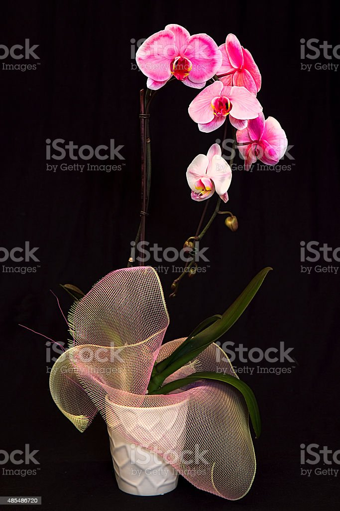Varigated Orchid House Plant stock photo