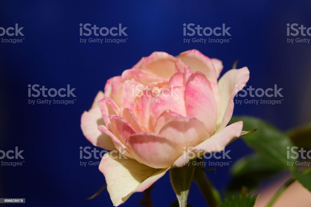 Varigated Pink and White Rose stock photo