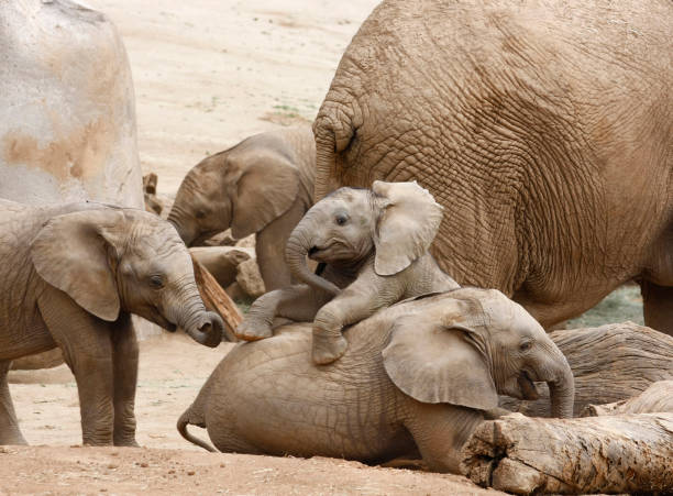 Various Aged Baby Elephants Playing Together Different Age Baby Elephants Playing Together in the Shadow of an Adult elephant calf stock pictures, royalty-free photos & images