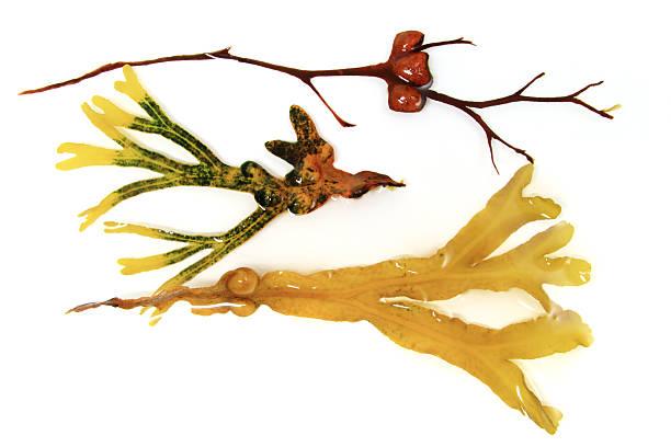 Verschiedene Algen und brauner Alge – Foto
