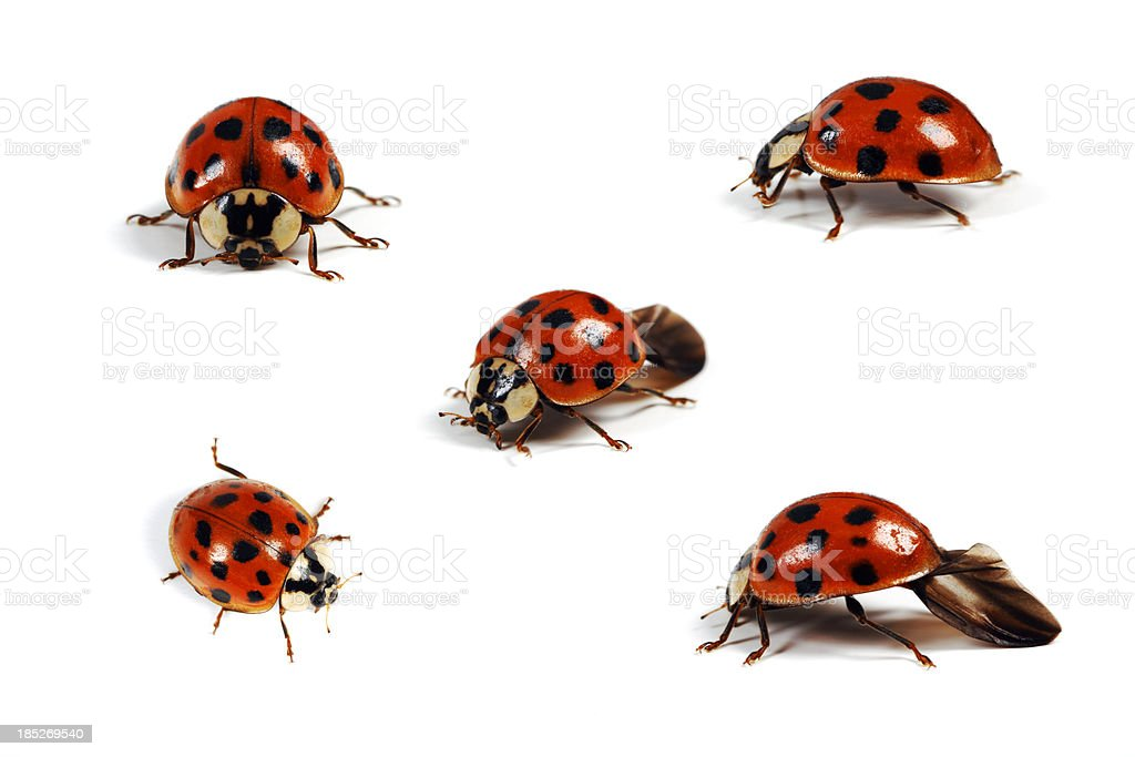 Various Angles of a Ladybug, Isolated on White stock photo