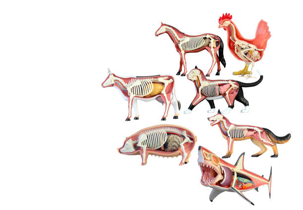 Various animals Animal plastic  toy isolated on white background. cat skeleton stock pictures, royalty-free photos & images