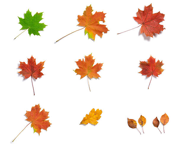Various autumn leaves isolated on white background stock photo