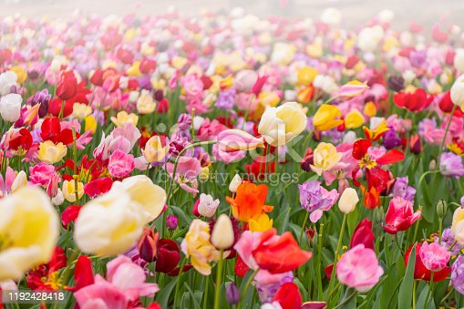 istock Various beautiful tulips are blooming in the garden 1192428418