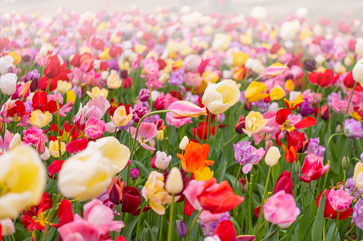 1094016162 istock photo Various beautiful tulips are blooming in the garden 1192428418