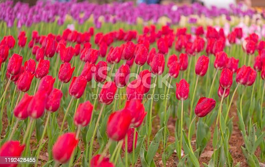 istock Various beautiful tulips are blooming in the garden 1192428455
