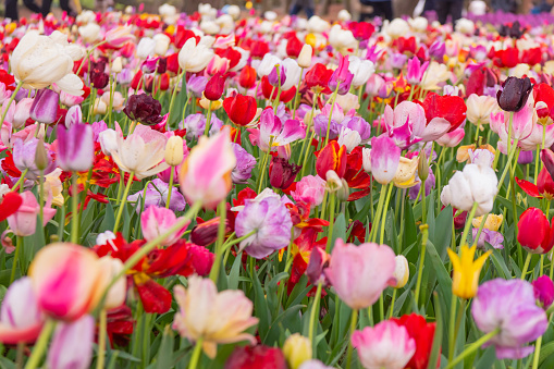 1094016162 istock photo Various beautiful tulips are blooming in the garden 1192428479
