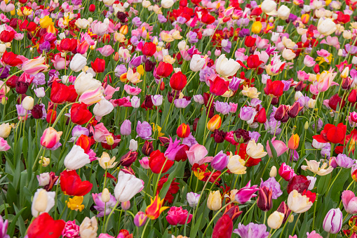 1094016162 istock photo Various beautiful tulips are blooming in the garden 1192428490