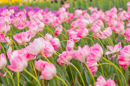 1094016162 istock photo Various beautiful tulips are blooming in the garden 1192428532