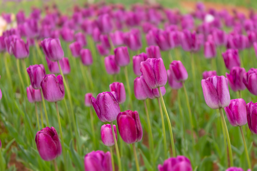 1094016162 istock photo Various beautiful tulips are blooming in the garden 1192428537