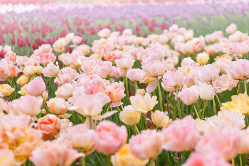 1094016162 istock photo Various beautiful tulips are blooming in the garden 1192428577