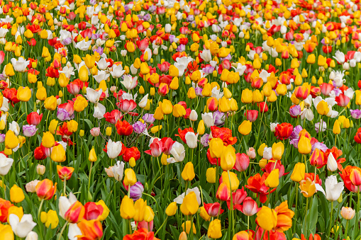 1094016162 istock photo Various beautiful tulips are blooming in the garden 1192428614