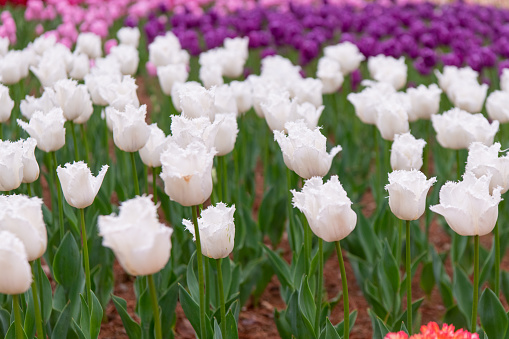 1094016162 istock photo Various beautiful tulips are blooming in the garden 1192428617