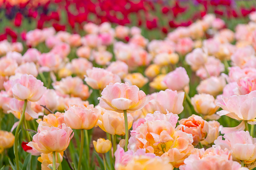 1094016162 istock photo Various beautiful tulips are blooming in the garden 1192428618