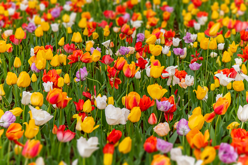1094016162 istock photo Various beautiful tulips are blooming in the garden 1192428666