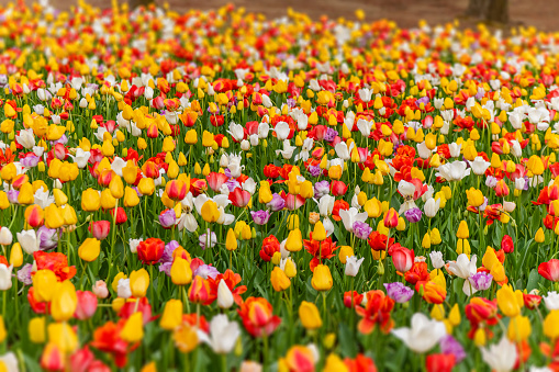 1094016162 istock photo Various beautiful tulips are blooming in the garden 1192428702