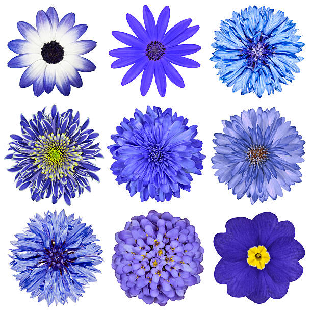 Various blue flowers selection isolated on white picture id153653921?b=1&k=6&m=153653921&s=612x612&w=0&h=5nlyz 81pjmcr34vfw1limhlrcyvqwiajyjb0gwvck8=