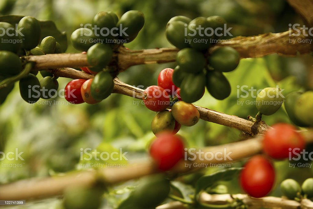 Various branches of mature coffee plants stock photo