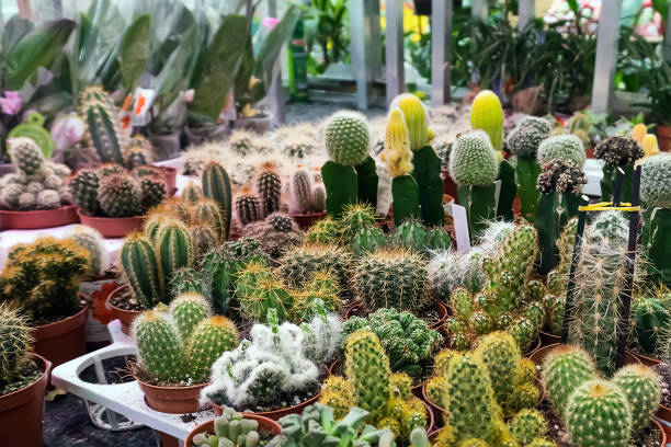 Various cacti mix in the greenhouse. Natural theme. stock photo