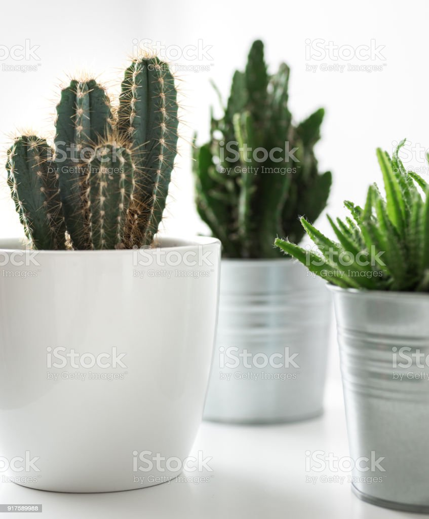various cactus and succulent plants in different pots close up