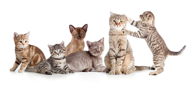 Various cats group isolated picture id505373882?b=1&k=6&m=505373882&s=612x612&w=0&h=wdvmba5o4sxfensyjpjvooo0yl2yapcvfzvsfmj0d7q=