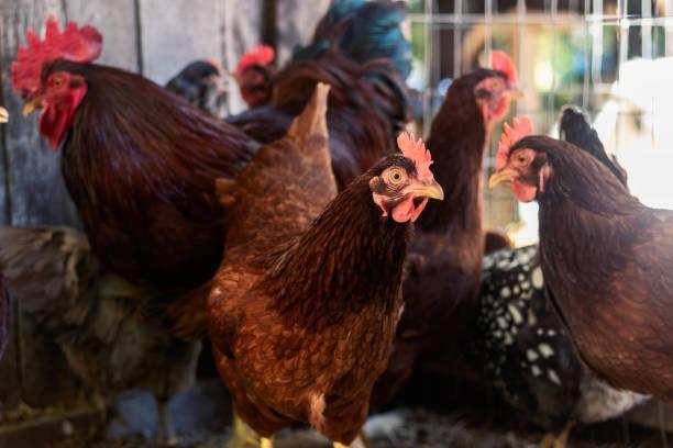Various Chickens – zdjęcie