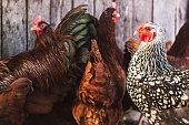 Hens and roosters in a roost
