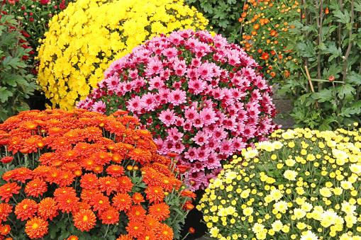 Rosa, rot und gelb farbige Chrysanthemenblüten