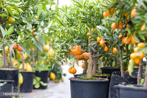 Oranges hanging on a branch